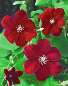 Red clematis...for fence ?
