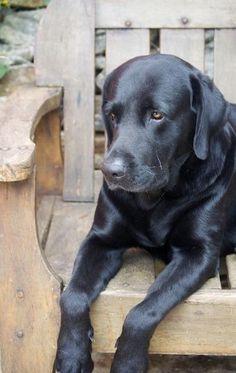 Black labrador More #LabradorRetriever