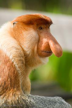Proboscis Monkey  (funny nose).