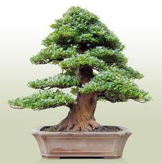 bonsai shohin en japon - Buscar con Google