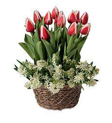Tulips And Mini Star Of Bethlehem Pre Planted Flower Bulb Garden   Ships  February