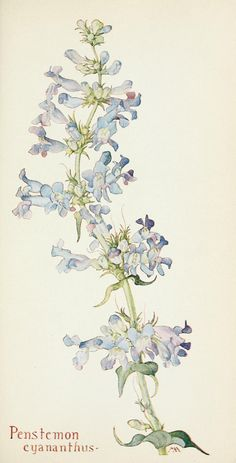 Penstemon cyananthus Field Book of Western Wild Flowers 1915 by Margaret Armstrong Illustration Botanique, Illustration Blume, Vintage Botanical Prints, Botanical Drawings, Botanical Flowers, Botanical Art, Art Floral, Western Wild, Gravure Illustration