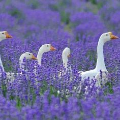 Gansen in de lavendel. (H also saw geese in our local lavender! Lavender Cottage, Lavender Blue, Lavender Fields, Lavender Garden, Beautiful Birds, Animals Beautiful, Farm Animals, Cute Animals, Garden Animals