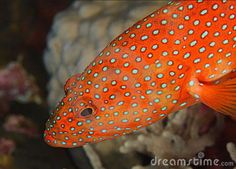 CORAL TRIANGLE_ Red spotted Grouper