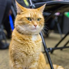 Owners relate their pet bob cat to a tabby cat, but their requirements are far from those of a domestic cat. Orange And White Cat, Orange Cats, High Five, I Love Cats, Cute Cats, Bobcat Pictures, Street Cat Bob, Cat Fountain, Cat Icon