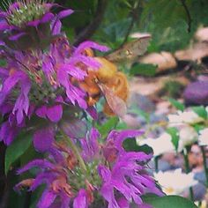My Life's Journey — Your Daily Herb  Horsemint (Monarda...