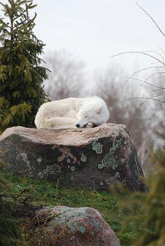 White wolf asleep on ROCK