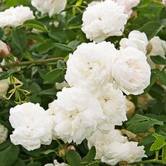 Madame Plantier- once bloomer, very fragrant, does well in shade