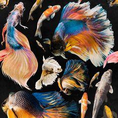 Mind the Gap Goldfish Behang: Hier Verkrijgbaar WP20300 - Luxury By Nature Mind The Gap, Cool Wallpaper, Pattern Wallpaper, Goldfish Wallpaper, Goldfish Types, Carpe Koi, Dark Grey Background, Casamance, Nautical Design