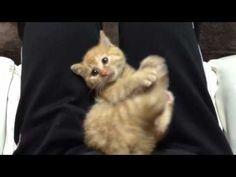 子猫と遊びます  http://www.cjube.com/animals/articles/tobimasu.html  #video #animals #cats