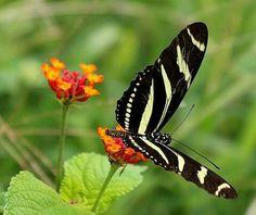 Mariposa zebra , Heliconius charithonia, nativa de la isla