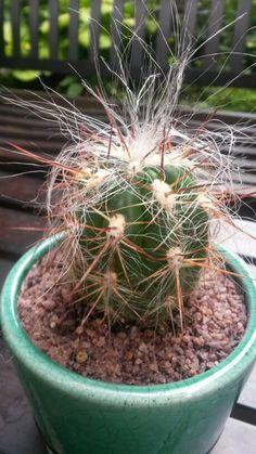 Echinocereus delaetii