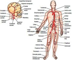 Systemic Arteries. Aorta. Structure of the Aorta. Functions of the Aorta