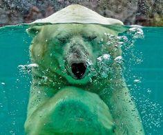 Polar Bear ~ Submerged by Jerome Bastianelli