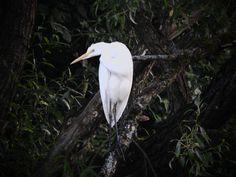 White Heron Czapla biała Heron, Wordpress, Bird, Animals, Fotografia, Animales, Animaux, Herons, Birds