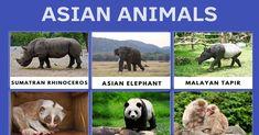 Asian Animals Amur Leopard, Snow Leopard, Animal Species, Bird Species, Amphibians, Mammals, Sumatran Rhinoceros, Indian Cobra