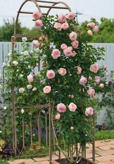 31 Unique Garden Fence Decoration Ideas to Brighten Your Yard - The Trending House Amazing Gardens, Beautiful Gardens, Rose Garden Design, Rose Trees, Beautiful Flowers Garden, Climbing Roses, Garden Trellis, Back Gardens, Dream Garden