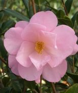 Taylor's Perfection Camellia