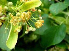 "Tilia Europoea (aka Linden, tilia vulgaris, lime tree, lime blossom) flower  Next entry of my ""FORAGING"" series on http://vallenuova.blogspot.com"