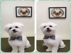 So why are Maltese Haircuts necessary for your Maltese pet? The answer is simple: your your maltese has lots of coat hair that can become matted and tangled. Maltese Shih Tzu, Havanese Puppies, Maltese Dogs, Maltipoo, Teacup Maltese, Shih Tzus, Maltese Haircut, Puppy Haircut, Dog Tear Stains