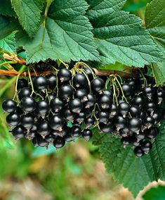 Currants 'Titania' are to grow in any garden. They require little maintenance and grow in any soil. What is better than in the summer enjoy currants with some sugar.
