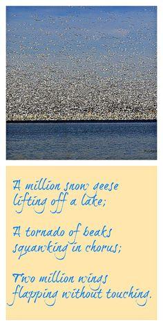 A Million Snow Geese in Missouri
