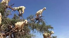 Funny Goats Standing On Tree Funny Goats Standing On Tree is a very funny video based on a true event. The goats are really expert and are actually very funny. The funny goats have very good experi… Happy Animals, Cute Funny Animals, Cute Baby Animals, Funny Cute, Animals And Pets, Cute Animal Videos, Funny Animal Pictures, Cute Goats, Funny Goats