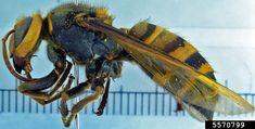 biggest hornet in the world – Szukaj wGoogle Hornet, Bee, Mood, Google, Animals, Honey Bees, Animales, Animaux, Bees