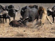 Batalla Epica a Muerte Leones y Búfalos