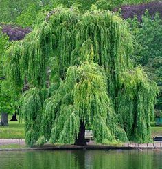 Google Image Result for http://www.landscapedia.info/images/plant_images/Salix_babylonica__Weeping_Willow%3B_Napoleons_Willow%3B_Babylonian_Willow.jpg
