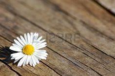 Margherita su tavolo di legno #amore #amorevole #benessere #cuore #festa_della_mamma #fidanzamento #fiore #fortuna #fresco #innamorati #insieme #margherita #matrimonio #passione #primavera #relax #rilassamento #romantico #san_valentino #sentimento #storia_d'amore #valentine's day