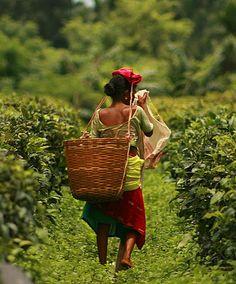 čajová plantáž. čaj k vám domů...