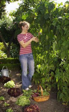 Stangenbohnen erfolgreich anbauen - so klappt's! -  Stangenbohnen können bis Ende Juni ausgesät werden. Für den Ernteerfolg ist eine gute Wasserversorgung wichtig. Wir geben Ihnen Tipps zu Anbau, Pflege und Ernte.