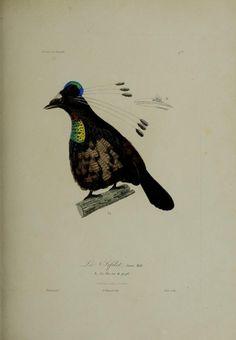 Histoire naturelle des oiseaux de paradis et des épimaques : - Biodiversity Heritage Library