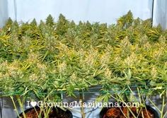 GROW TIP ScrOGing your way to Better Yields
