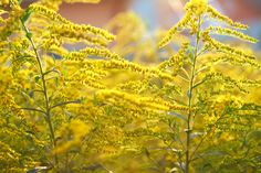 Plants That Aid in the Wound Healing Process - Advanced Tissue Goldenrod Flower, Marigold Flower, Yellow Flowering Plants, Heal Wounds Faster, Spring Allergies, Wound Healing, Calendula, Photo Backgrounds, Planting Flowers