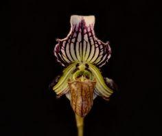 Paphiopedilum fairrieanum - Flickr - Photo Sharing!