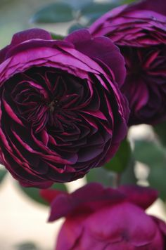 Beautiful Red Roses, Amazing Flowers, Love Flowers, Purple Roses, Black Roses, Deer Proof Plants, Roses And Violets, Serenity Garden, Rose Garden Design