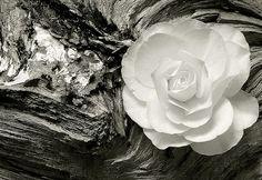 Ansel Adams Photography   Ansel Adams Photography Rose