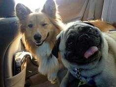 21 Pug and Corgi Best Friends. Omygoodness the Corgi is winking! Cute Puppies, Cute Dogs, Dogs And Puppies, Funny Dogs, Funny Animals, Cute Animals, Animal Memes, Funny Memes, Tierischer Humor