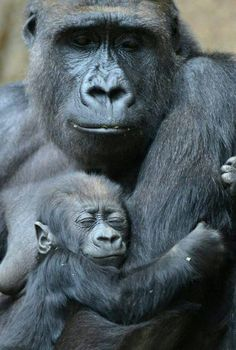 The face that baby gorilla is making, so cute. Primates, Mammals, Cute Baby Animals, Animals And Pets, Funny Animals, Mother And Baby Animals, Strange Animals, Happy Animals, Zoo Animals