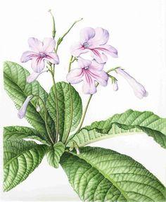 Julia Trickey | American Society of Botanical Artists