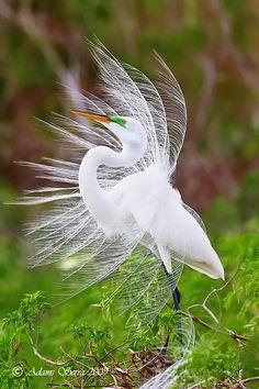 Great Egret ~ By Adams Serra