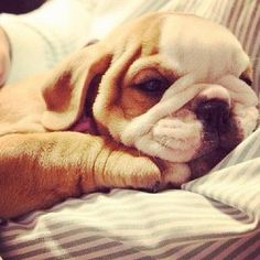 baby bulldog puppy