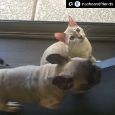 @nachoandfriends ・・・ When you're trying to get that cardio in and your trainer is always on your booty giving you more resistance👊🏼👊🏼💪🏽😾🐶 (turn up 🎶🎶) #training #workout #fitness #cardio #mannyandfriends @badgalriri #dogs_of_world @love.a.bully @frenchievids @frenchies.1 @frenchiesworld_wide @dailybarker @dogsofinstagram @one_fast_cat #postyourpooch #onefastcat #fitnessmotivation #fitspo #pupflix  Check out the Cat Exercise wheel at: http://onefastcat.com