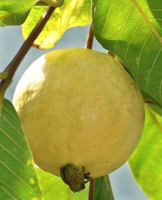 Bayabas or Guava Types Of Fruit, Fruit And Veg, Fruits And Vegetables, Fresh Fruit, Fruit Plants, Fruit Garden, Fruit Trees, Colorful Fruit, Tropical Fruits