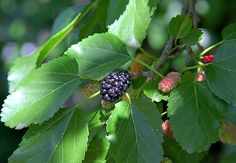 Mulberry Fruit, Mulberry Bush, Mulberry Tree, Growing Tree, Growing Plants, Butterfly Garden Plants, Potted Trees, Shade Trees, Ornamental Grasses