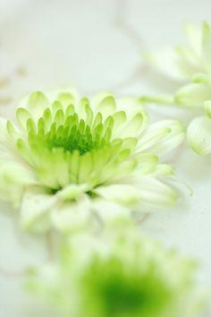 スプレーマム エマグリーンhttp://hanaya87.com/library/flower/flmt405