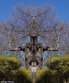 ★♥★Posture séduisante de l'arbre a été prise dans île de Extremadura avec série de branches qui conviennent à celle d'une araignée, avec les branches qui s'étendent de chaque côté un peu comme les #jambes de l'insecte car il se nourrit de ses victimes. Pendant ce temps, photographe, Angel Febrero, a capturé paire d'arbres dans son #Espagne natale qui ressemblent à des araignées #humanoid #tree #Arbre #humanoide #trees #Arbres #nature #beauty #life #vie #bizarre #weird #unusual #Scary