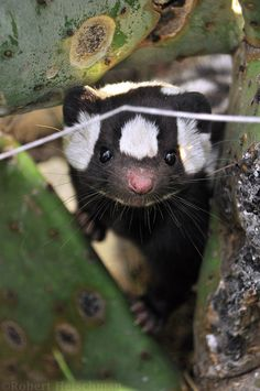 western spotted skunk | animal + wildlife photography
